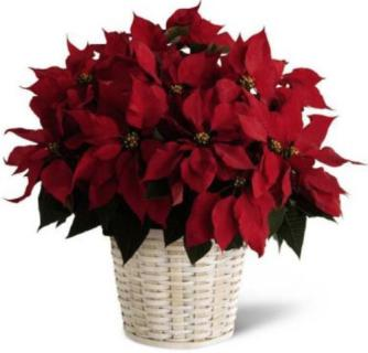 "Poinsettia, Red - 8"" Pot"