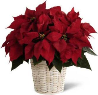 "Poinsettia, Red - 6"" Pot"