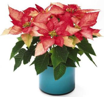 Poinsettia, Pink (Small)